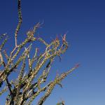 Ocotillo flowering in Anza Borrego Desert State Park