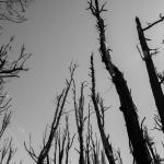Dead trees reach for the sky near Glenorchy, New Zealand